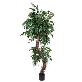 Ficus Tortueux