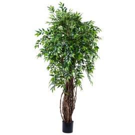 Ficus Liana