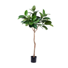 Ficus Caoutchouc sur tronc