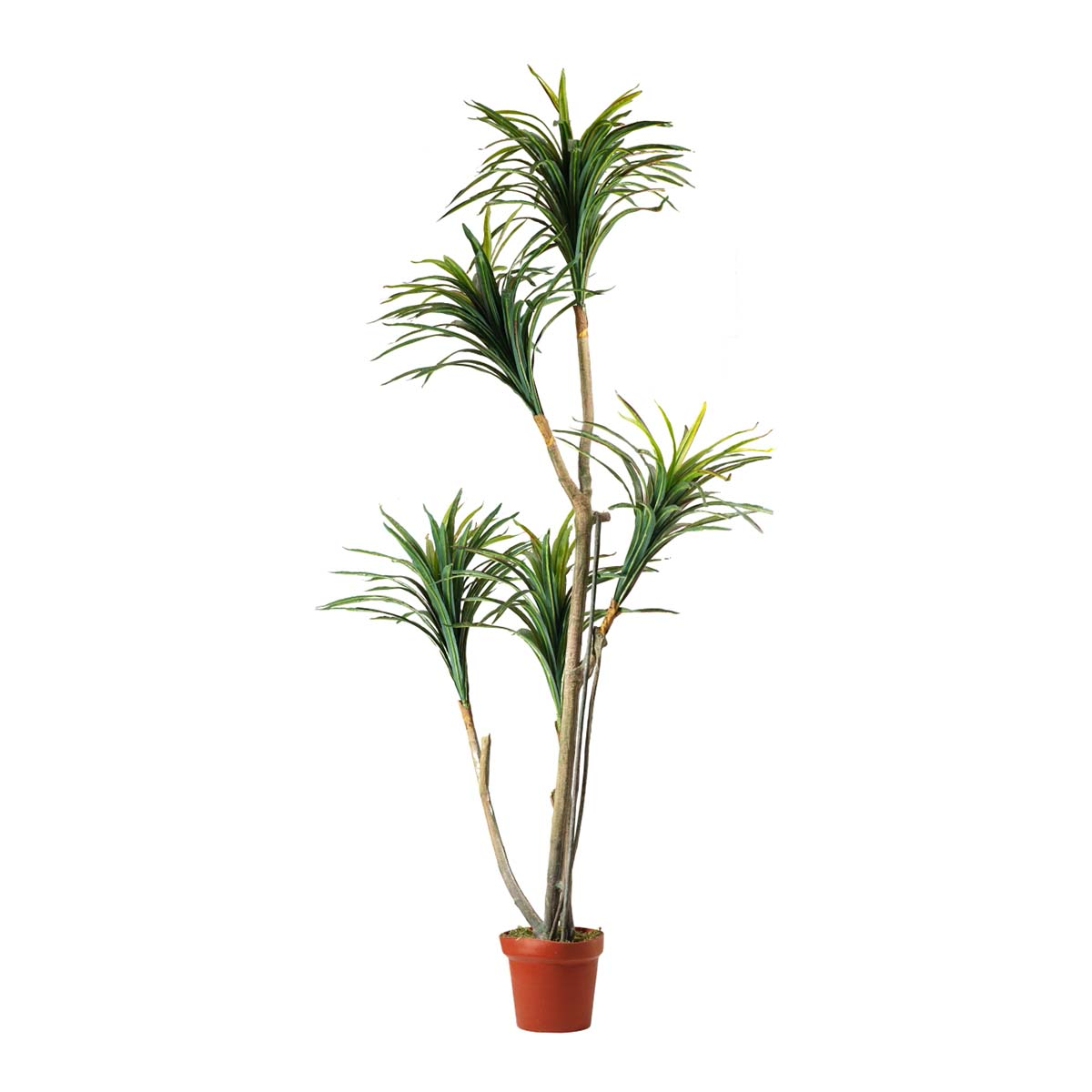 Yucca multi-troncs