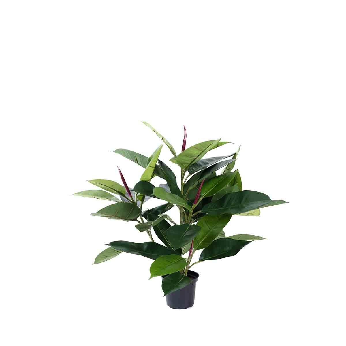 Ficus Caoutchouc