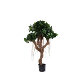 Ficus Panda nain