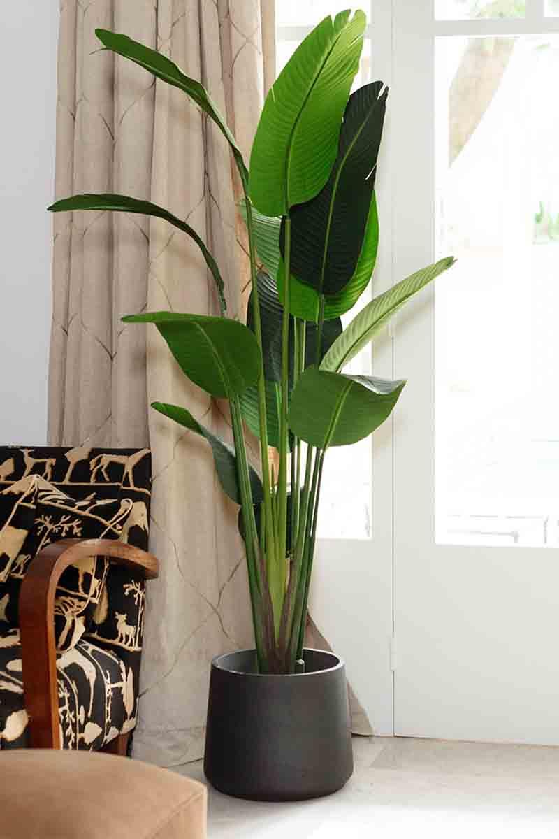 Strelitzia à larges feuilles