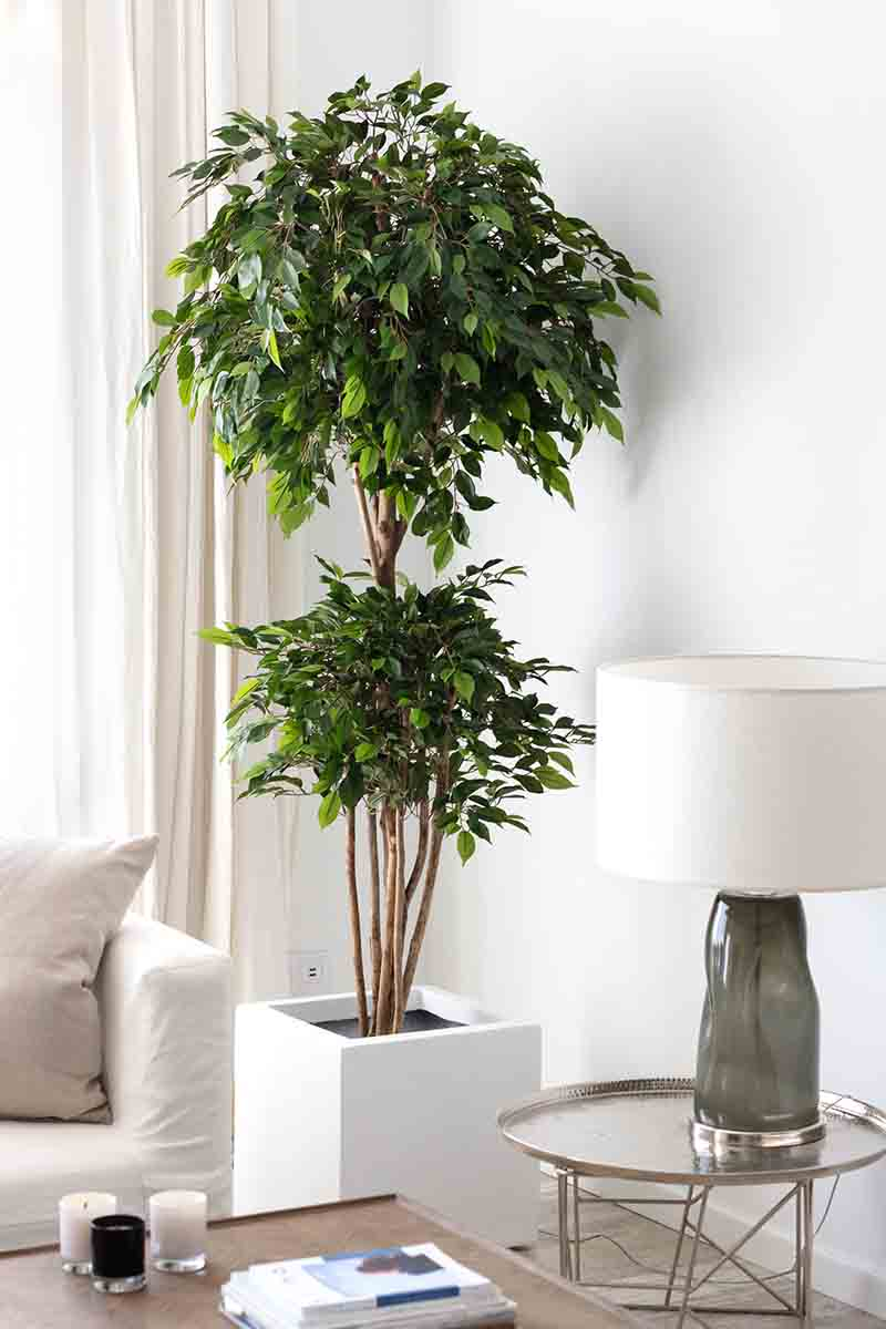Ficus Tropical