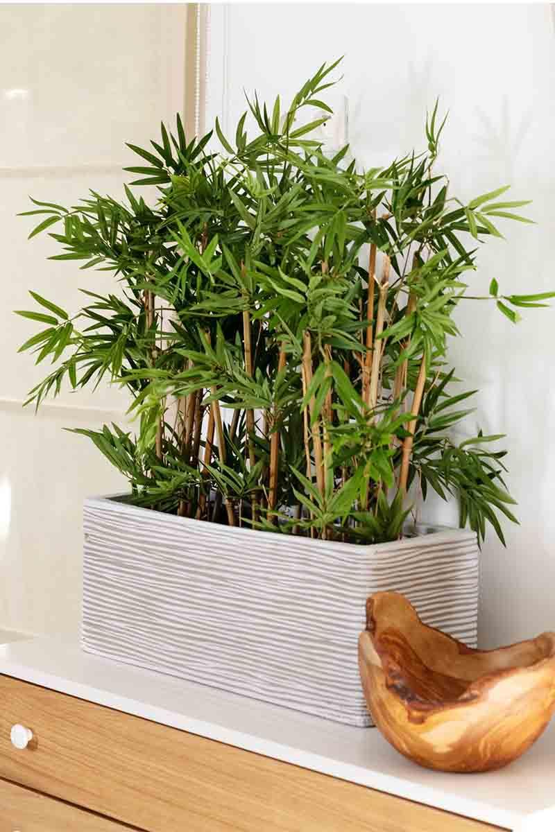 Bambou Japonais dense