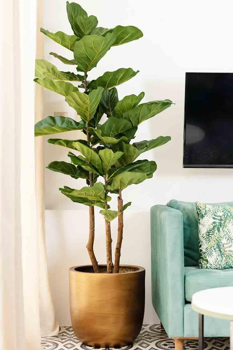 Lyrata à larges feuilles